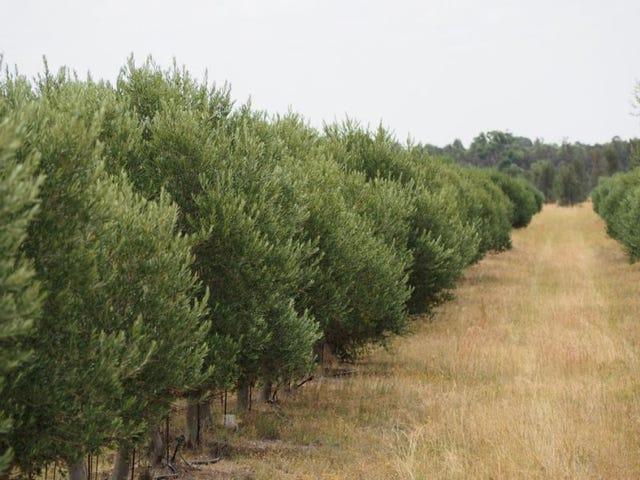 Viva and Yallamundi Olives, Millmerran, Qld 4357